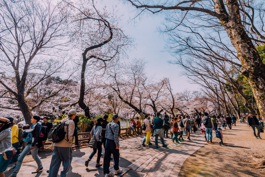 Inokashira Park ซากุระ โตเกียว