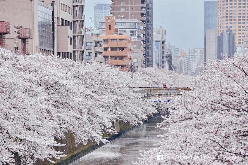 จุดชมซากุระในโตเกียว Meguro River