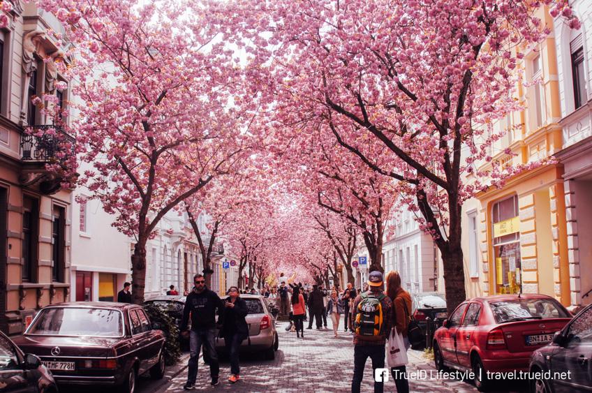 Cherry Blossom Street เยอรมนี ที่เที่ยวโรแมนติก