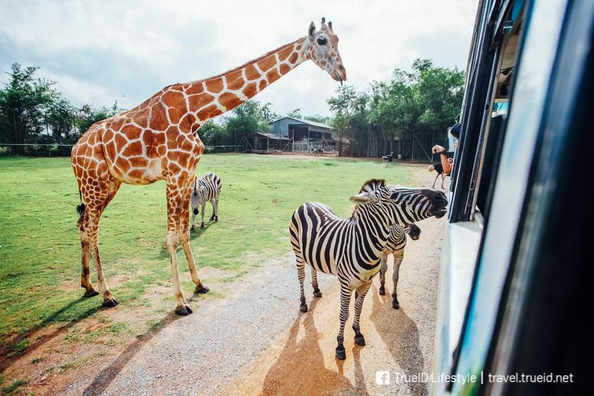 สวนสัตว์เปิด ซาฟารี ปาร์ค แอนด์ แคมป์ บ่อพลอย