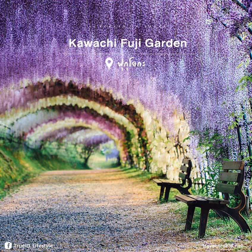 ที่เที่ยวสวยที่สุดในญี่ปุ่น Kawachi Fuji Garden