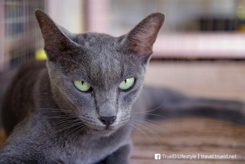 บ้านแมวไทย อัมพวา ที่เที่ยวสมุทรสงคราม