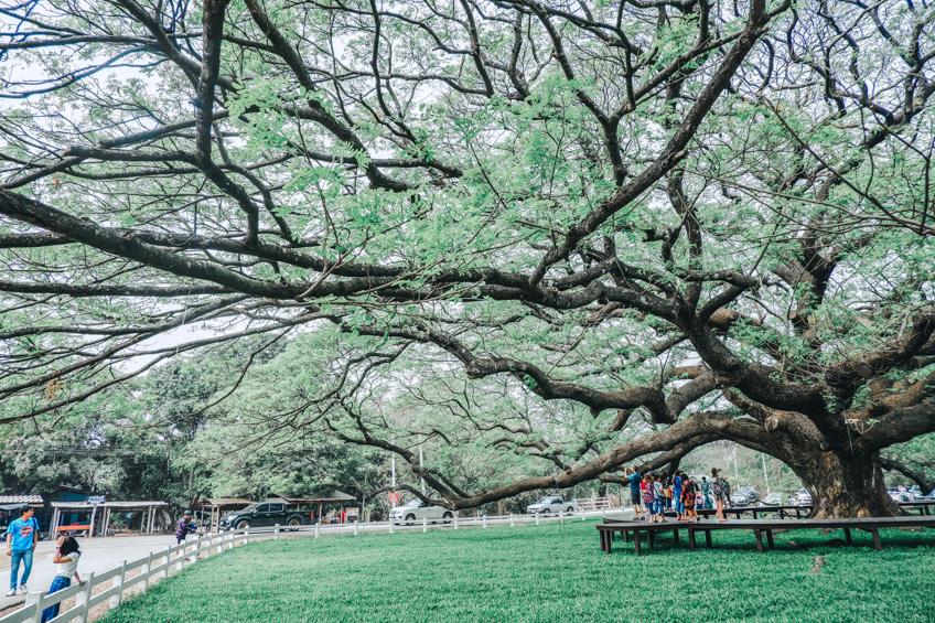 ต้นจามจุรี กาญจนบุรี ที่เที่ยวถ่ายรูปสวย
