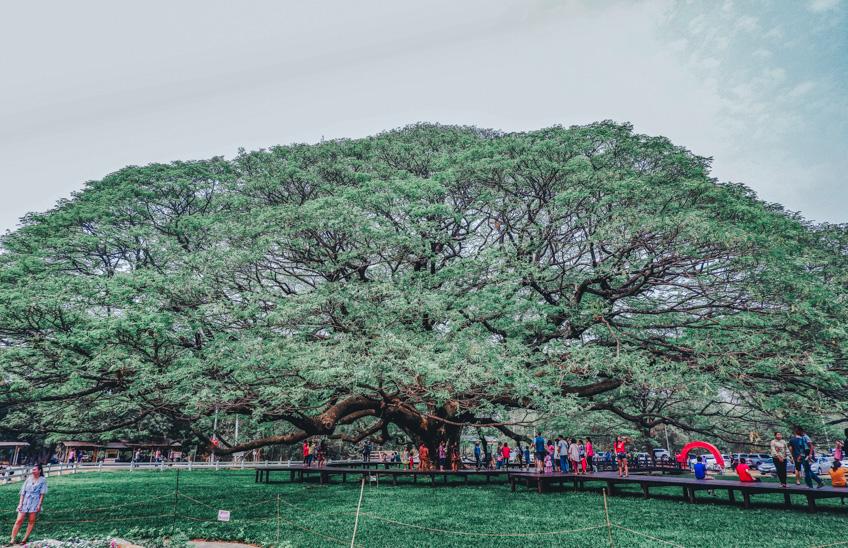 ต้นจามจุรียักษ์ กาญจนบุรี ที่เที่ยวถ่ายรูปสวย