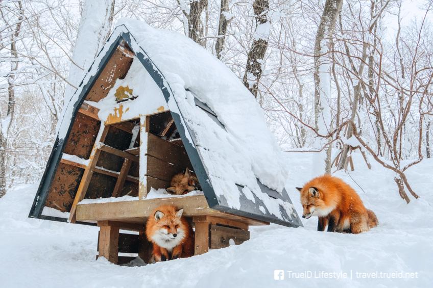 Zao Fox Village ที่เที่ยวคนรักสัตว์