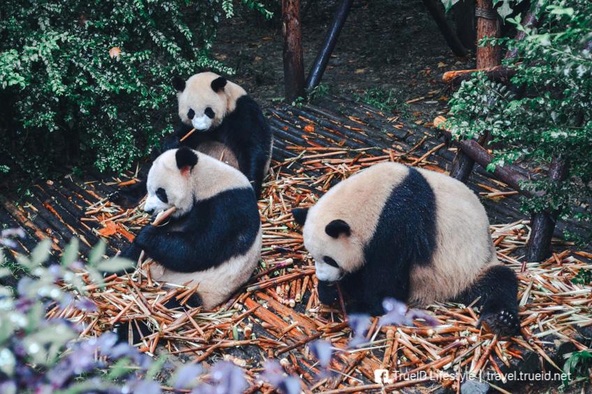 ที่เที่ยวคนรักสัตว์ Sichuan Giant Panda Sanctuaries