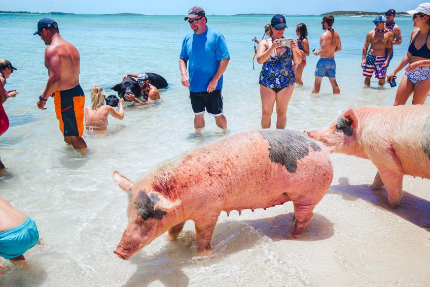 Pig Beach ที่เที่ยวคนรักสัตว์