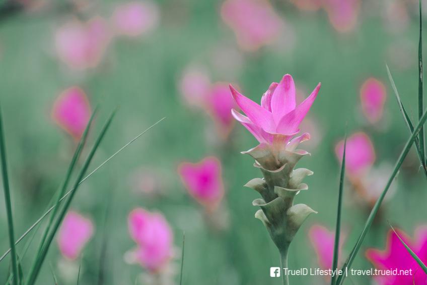 อุทยานแห่งชาติ เที่ยวหน้าฝน ทุ่งดอกกระเจียว
