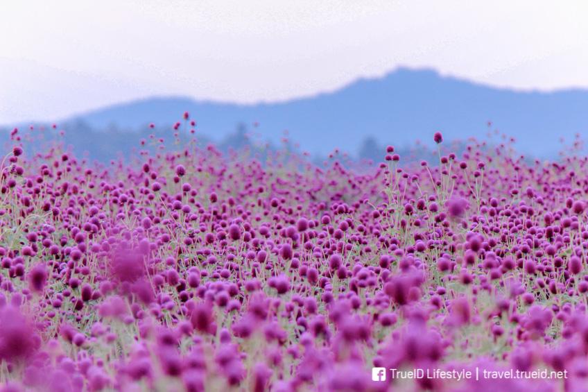 ที่เที่ยวม่อนแจ่ม ทุ่งดอกไม้เชียงใหม่