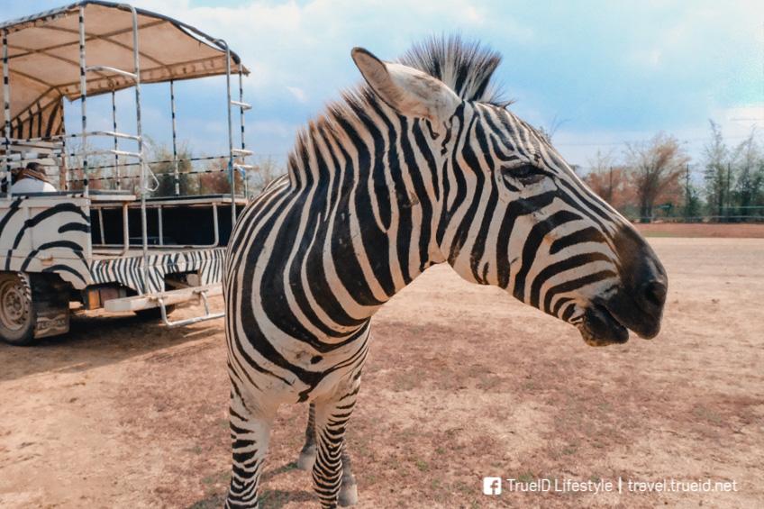 ที่เที่ยวกาญจนบุรี สวนสัตว์เปิด ซาฟารี ปาร์ค แอนด์ แคมป์