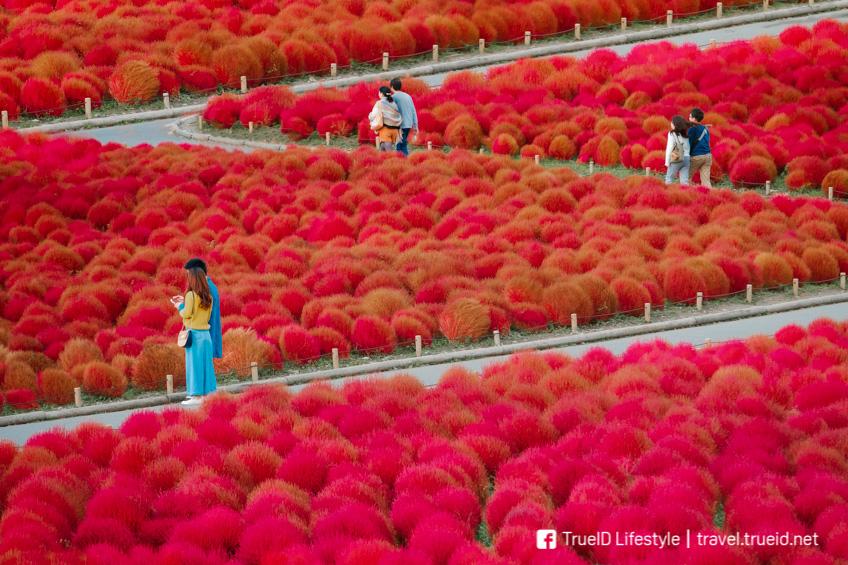 สวน Hitachi Seaside Park ใบไม้เปลี่ยนสี ญี่ปุ่น 2019