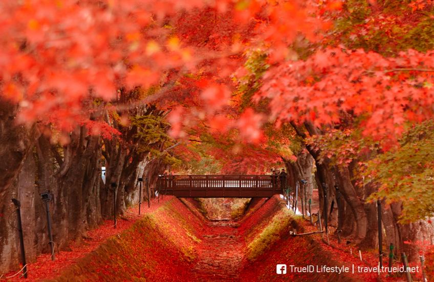 ทะเลสาบคาวากุจิโกะ ใบไม้เปลี่ยนสี ญี่ปุ่น 2019