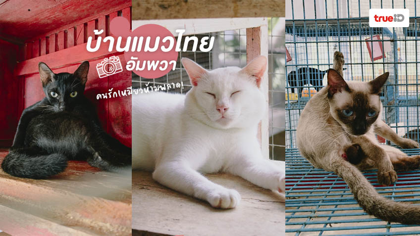 บ้านแมวไทย อัมพวา