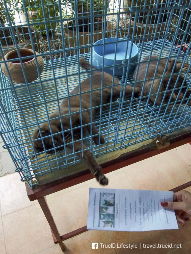 บ้านอนุรักษ์แมวไทย ที่เที่ยวอัมพวา