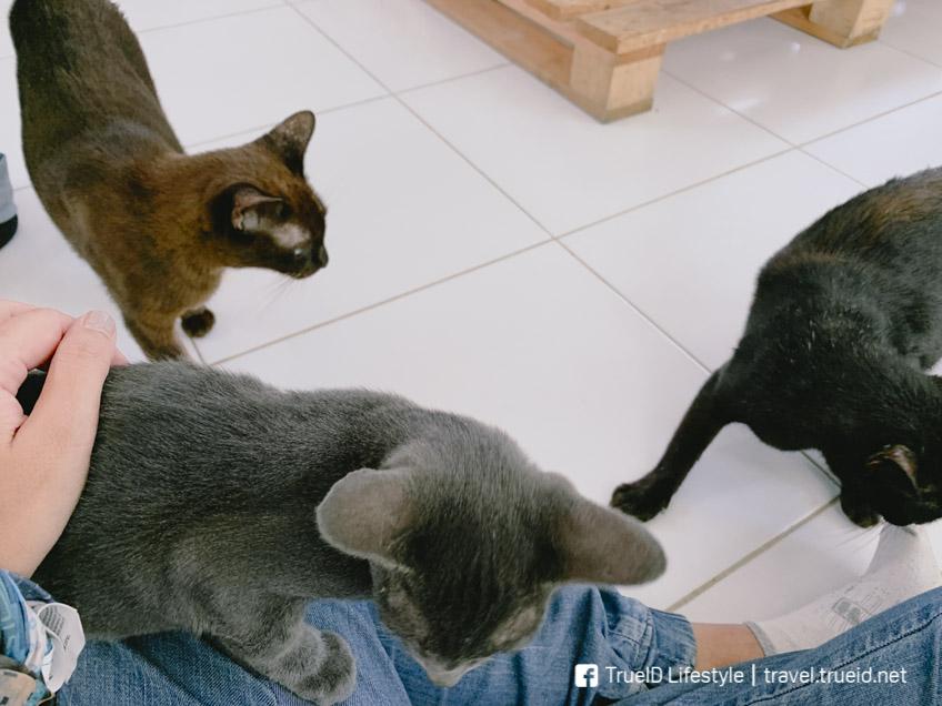 บ้านแมวไทยโบราณ สมุทรสงคราม