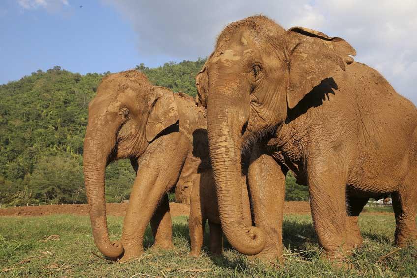 ช้างไทย เชียงใหม่