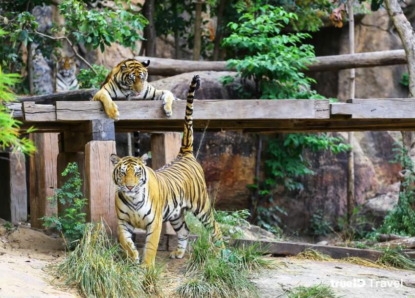 เสือ สวนสัตว์ขอนแก่น