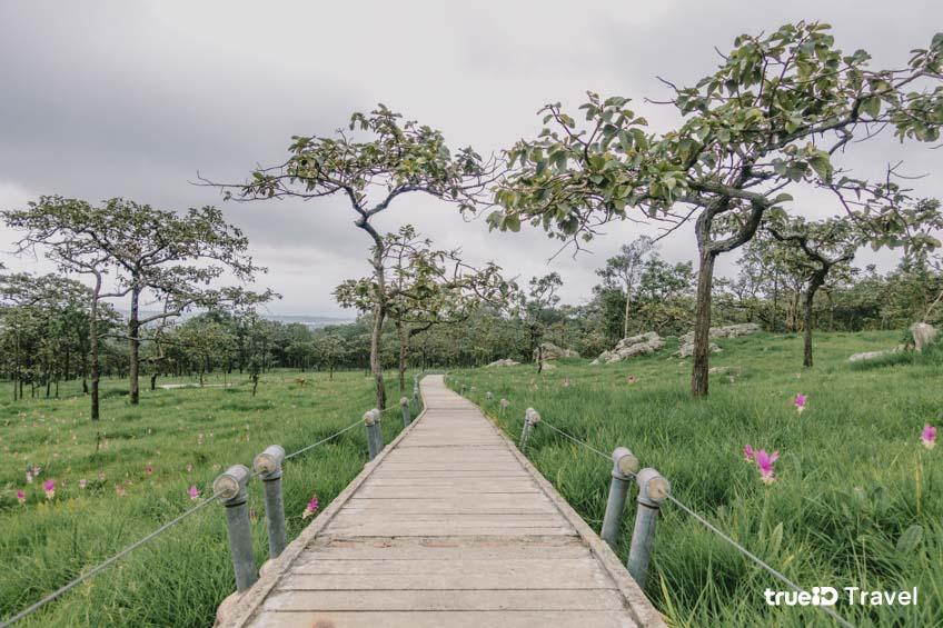 ทุ่งดอกไม้สวย ทุ่งดอกกระเจียว อุทยานแห่งชาติไทรทอง