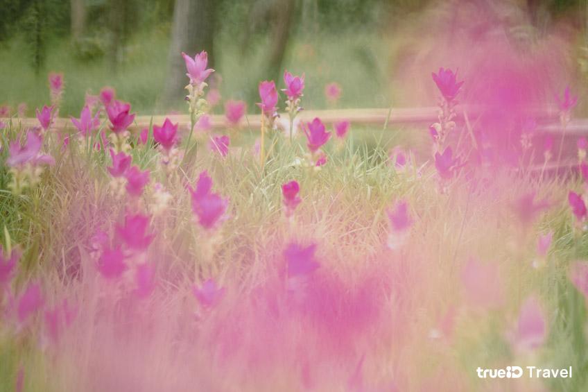 ที่เที่ยวถ่ายรูปสวยๆ ทุ่งดอกกระเจียว ชัยภูมิ อุทยานแห่งชาติไทรทอง