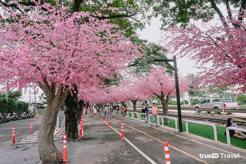 ที่เที่ยวไทยเหมือนญี่ปุ่น ถนนซากุระ โคราช ที่เที่ยวนครราชสีมา