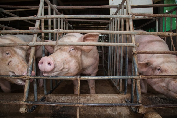"""องค์กรพิทักษ์สัตว์โลก ขอเสียงรณรงค์ เลี้ยง """"หมู"""" อย่างใส่ใจ เพื่อสุขภาพที่ดีของทุกคน"""